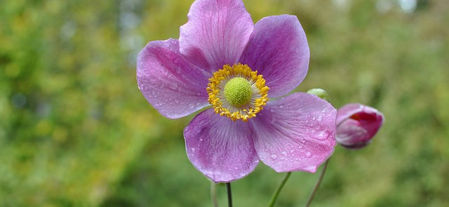 Raindrops on anemones