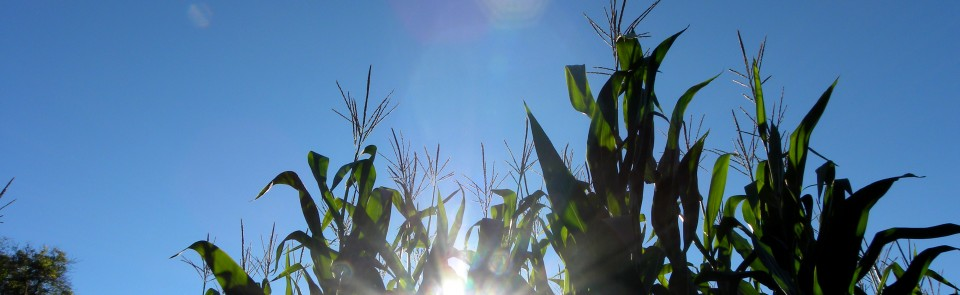 You could do worse than to get lost in a corn maze…